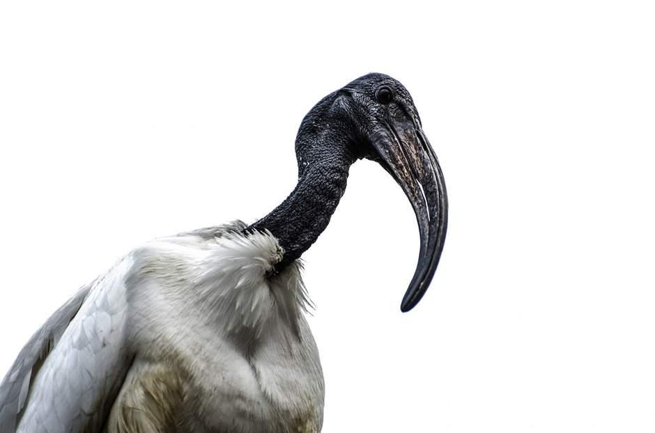 Vogel mit schwarzen Kopf und weißen Federn